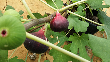 Fig The Future Industrial Crops